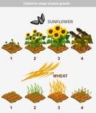 Etapp för växttillväxt Solros och vete Royaltyfri Bild