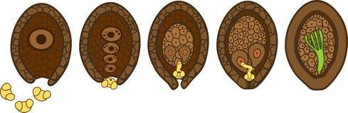 Etapper av pollination och befruktning av sörjer Den sexuella processen av sörjer från bildande av kvinnlig gametophyte, till bef stock illustrationer