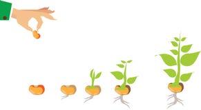 Etapper av tillväxt av växten och kärnar ur till trädet Arkivbilder