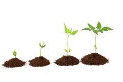Etapper för växttillväxt - växtframsteg arkivbilder