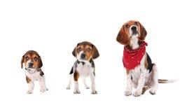 etapper för beagletillväxtvalp Arkivbilder