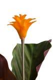 Eternal flame flower (calathea Royalty Free Stock Photography