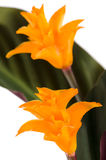 Eternal flame flower (calathea Royalty Free Stock Images