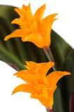 Eternal flame flower (calathea. Closeup of Eternal flame flower (calathea crocata royalty free stock images