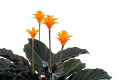 Eternal flame flower (calathea crocata orange) Stock Photography