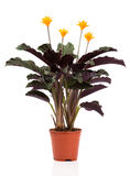 Eternal flame flower (calathea crocata orange). In flowerpot on white background. Calathea crocata is a perennial stock images