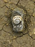 Eternal Nature. Snail Shell On Dry Earth Royalty Free Stock Image