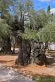 Eternal olive trees. Eternal holy Jerusalem. One of the eight very ancient olive trees in the Garden of Gethsemane Stock Images