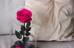 Pink rose in a flask. Long-lasting rose, Preserved. The eternal roses in the flask, Preserved Stock Photos