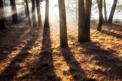 Eteryczni drzewa Obrazy Royalty Free