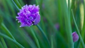 Ethereal πορφυρό λουλούδι Στοκ φωτογραφία με δικαίωμα ελεύθερης χρήσης