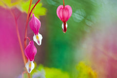 Ethereal Heart. Close up of bleeding heart flowers royalty free stock photography