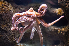 Ethereal octopus from the depth (Octopus vulgari). Octopus from the depth (Octopus vulgari royalty free stock image