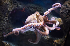 Ethereal octopus from the depth (Octopus vulgari) Royalty Free Stock Photo