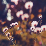 Ethereal Petal Glow. Tiny meadow white daisy like wildflowers glowing in sun backlight in overall purple tones on soft blurry bokeh background in square format stock image