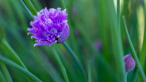 Ethereal Purple Flower of Chive Plant. Gentle focus throughout this frame except for the very center of the flower bud creates a surreal, pastel water color Royalty Free Stock Photography
