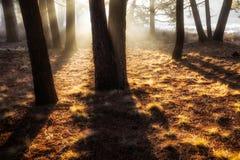 Etherische Bomen Stock Afbeelding
