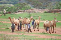 Ethiopia. Camel market in Southern Ethiopia Stock Photography