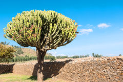 Ethiopia. Axum,  an euphorbia tree between the ruins of the baths of the Queen of Saba Stock Photo