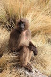 Ethiopia. Geladas are endemic in ethiopia. they mainly live in simien mountains Stock Image