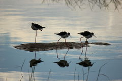 Ethiopia Waders and Reflection Royalty Free Stock Photo