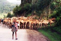 Ethiopian camels Stock Image