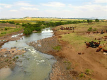 Ethiopian cows on watering the river. Africa, Ethiopia. Stock Images