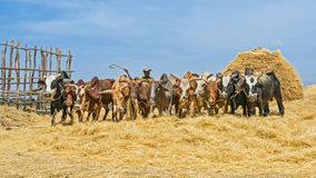 Ethiopian farmer using his cows for threshing harvest Stock Photo