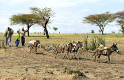 Ethiopian Farmers with grain harvest and donkeys Stock Photos