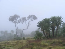 Ethiopian forest in mist Stock Images