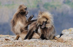 Ethiopian gelada baboons Stock Photo