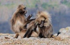 Ethiopian gelada baboons stock photo