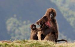 Ethiopian gelada baboons Stock Image