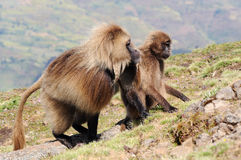 Ethiopian gelada baboons stock photos