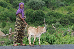 Ethiopian Girl with Cow Stock Images
