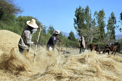 Ethiopian men threshing harvested grain Royalty Free Stock Photography