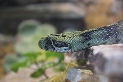 Ethiopian mountain viper Royalty Free Stock Photo