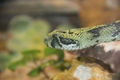 Ethiopian mountain viper Stock Photos