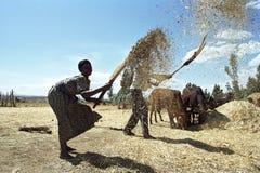 Ethiopian Old woman threshing grain harvest. Ethiopia, district Oromiya, village Chancho Gaba Robi: these Oromo senior woman and man of largest Ethiopian ethnic Stock Photo