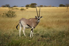 Ethiopian Oryx  Royalty Free Stock Images