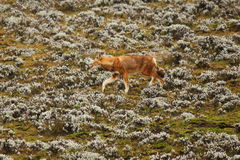 Ethiopian Wolf Royalty Free Stock Photography