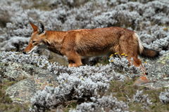 Ethiopian wolf in the Bale Mountains of Ethiopia in Africa. The Ethiopian wolf in the Bale Mountains of Ethiopia in Africa Stock Images