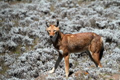 Ethiopian wolf in the Bale Mountains of Ethiopia in Africa. The Ethiopian wolf in the Bale Mountains of Ethiopia in Africa Royalty Free Stock Image