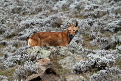 Ethiopian wolf in the Bale Mountains of Ethiopia in Africa. The Ethiopian wolf in the Bale Mountains of Ethiopia in Africa Stock Photography