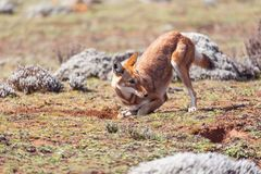 Ethiopian wolf, Canis simensis, Ethiopia royalty free stock photography