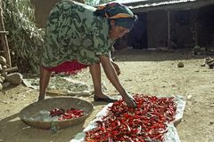 Ethiopian woman is drying peppers at home. Ethiopia, village CHANCHO Gaba Robi: Portrait of working Oromo woman, largest Ethiopian ethnic population group. In Stock Images