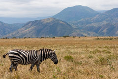 Ethiopian zebra on the savannah Stock Photos