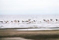 Ethiopians-Flamingos Stockfotografie