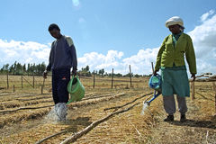 Ethiopians watering saplings with watering cans Royalty Free Stock Photography