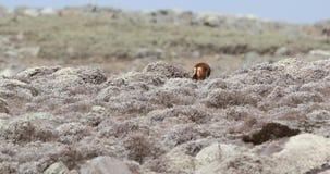 Ethiopisch Wolf Going Away stock videobeelden